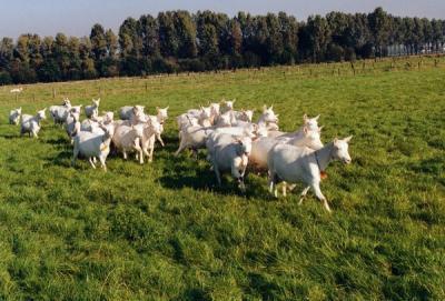 kudde geiten